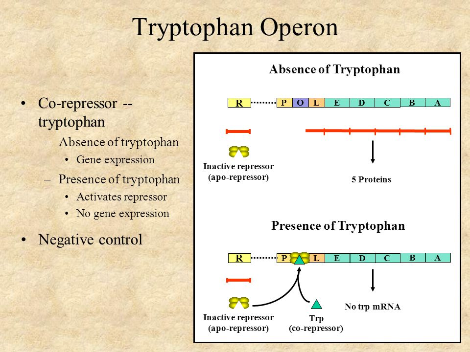 Tryptophan Operon Co-repressor -- tryptophan –Absence of tryptophan Gene expression R POEDC 5 Proteins B A L Inactive repressor (apo-repressor) Absence of Tryptophan R POEDC No trp mRNA B A L Presence of Tryptophan Inactive repressor (apo-repressor) Trp (co-repressor) –Presence of tryptophan Activates repressor No gene expression Negative control