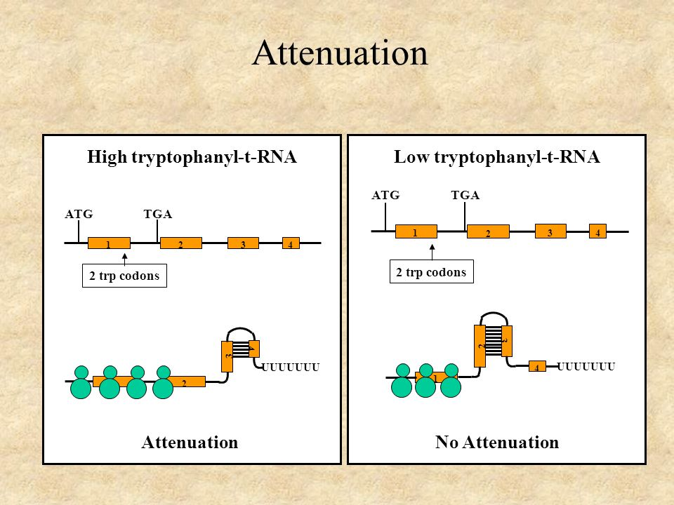 Attenuation 1 2 4 3 UUUUUUU ATG TGA 2 trp codons 1 43 2 High tryptophanyl-t-RNA Attenuation ATG TGA 2 trp codons 1 43 2 1 4 3 2 UUUUUUU Low tryptophanyl-t-RNA No Attenuation