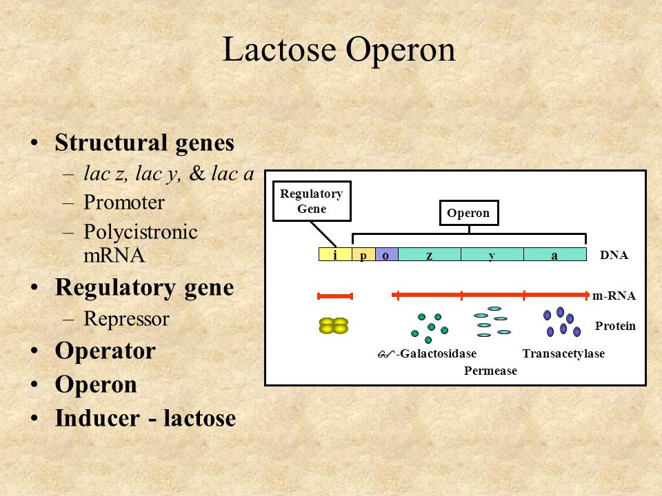 Lactose Operon Structural genes –lac z, lac y, & lac a –Promoter –Polycistronic mRNA Regulatory gene –Repressor Operator Operon Inducer - lactose i Op