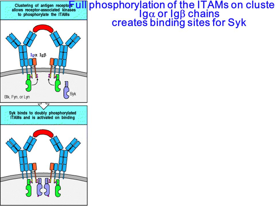 Full phosphorylation of the ITAMs on clustered Ig  or Ig  chains creates binding sites for Syk Ig  Ig 