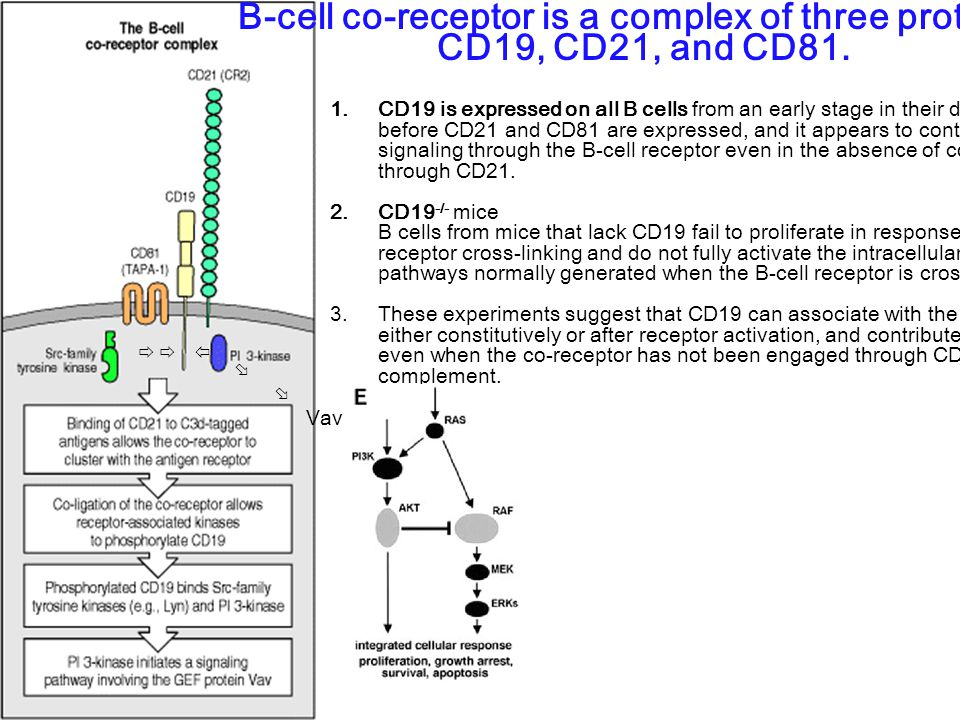 B-cell co-receptor is a complex of three proteins CD19, CD21, and CD81. 1. CD19 is expressed on all B cells from an early stage in their development,