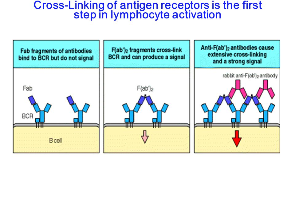 Cross-Linking of antigen receptors is the first step in lymphocyte activation