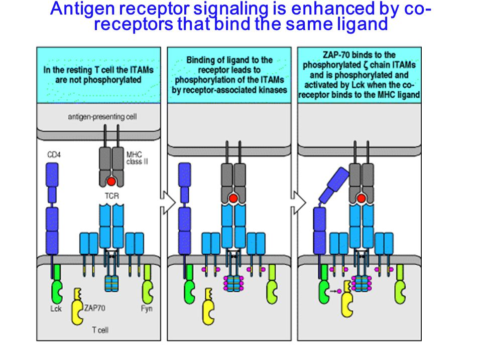 Antigen receptor signaling is enhanced by co- receptors that bind the same ligand