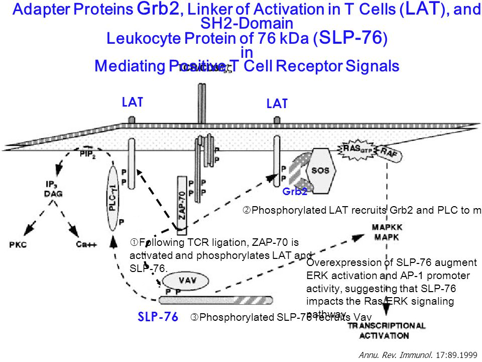 Annu. Rev. Immunol. 17:89.1999 Adapter Proteins Grb2, Linker of Activation in T Cells ( LAT ), and SH2-Domain Leukocyte Protein of 76 kDa ( SLP-76 ) i