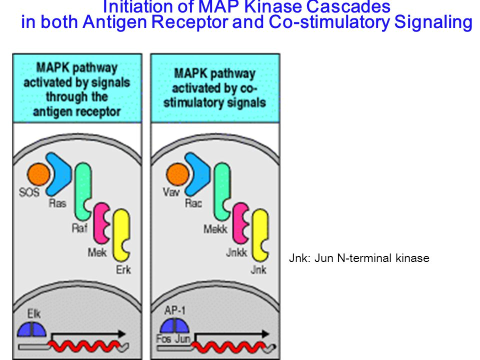 Initiation of MAP Kinase Cascades in both Antigen Receptor and Co-stimulatory Signaling Jnk: Jun N-terminal kinase