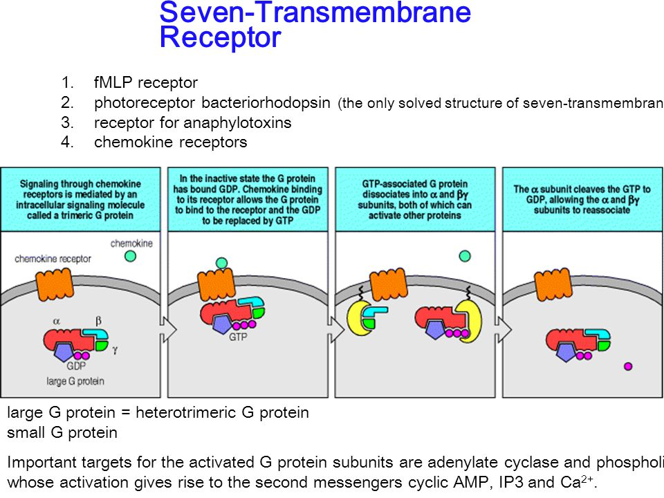 1. fMLP receptor 2. photoreceptor bacteriorhodopsin (the only solved structure of seven-transmembrance protein) 3. receptor for anaphylotoxins 4. chem