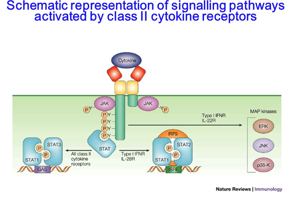Schematic representation of signalling pathways activated by class II cytokine receptors