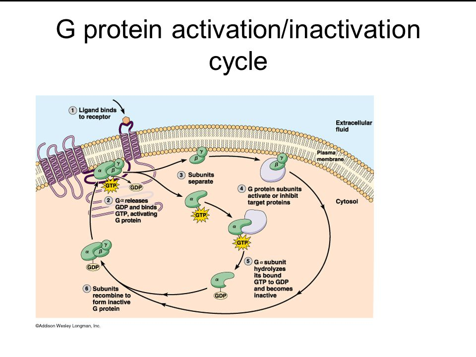 G protein activation/inactivation cycle