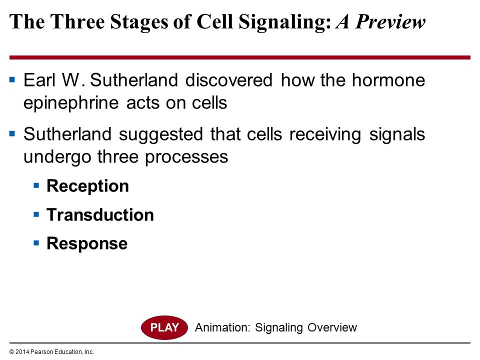 The Three Stages of Cell Signaling: A Preview  Earl W. Sutherland discovered how the hormone epinephrine acts on cells  Sutherland suggested that ce