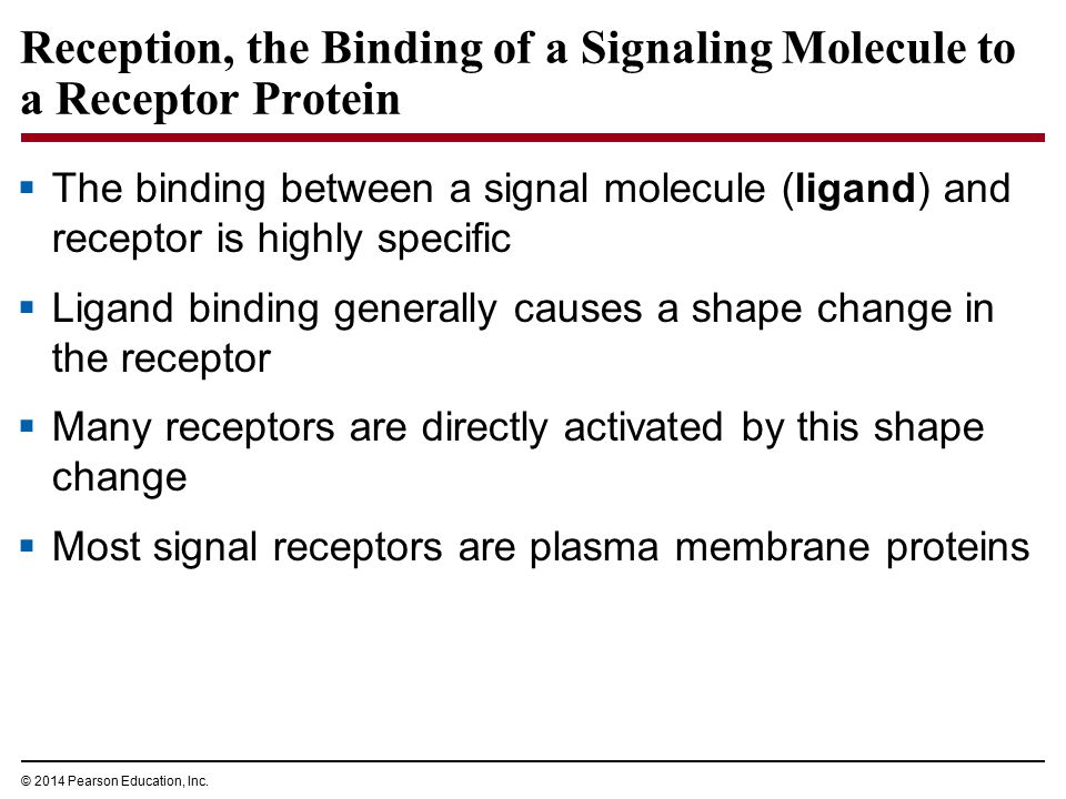 Reception, the Binding of a Signaling Molecule to a Receptor Protein  The binding between a signal molecule (ligand) and receptor is highly specific