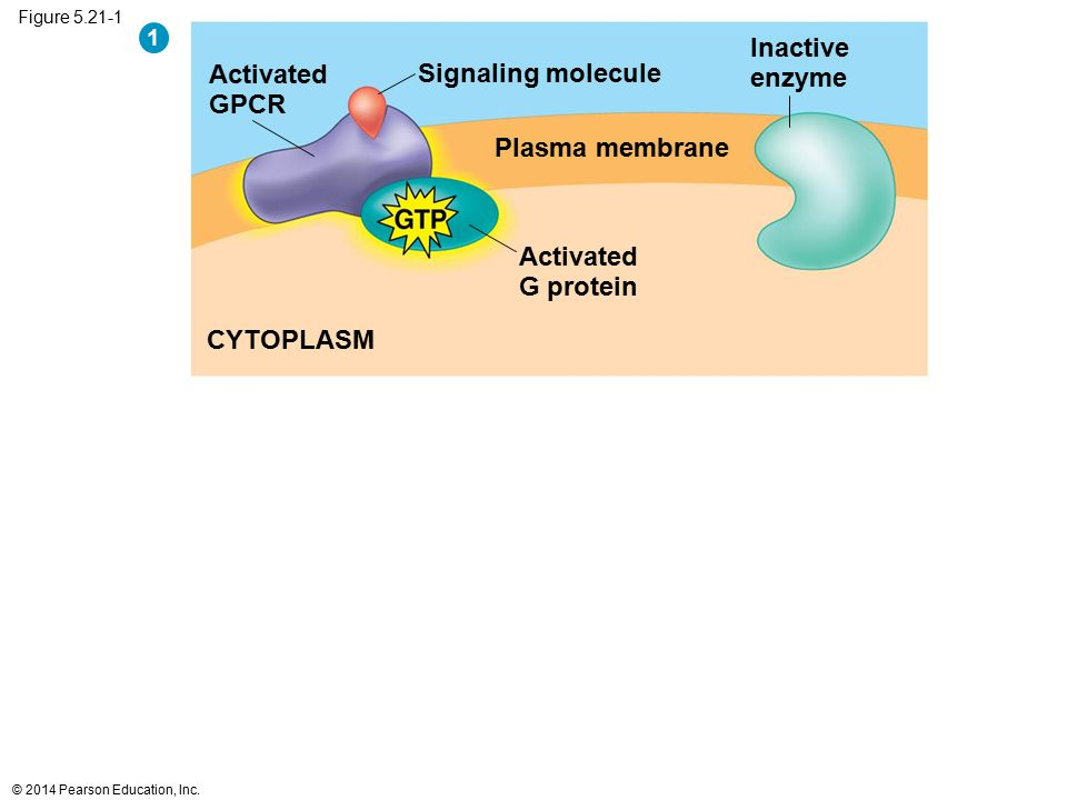 Figure 5.21-1 CYTOPLASM Plasma membrane Activated G protein Signaling molecule Inactive enzyme Activated GPCR 1 © 2014 Pearson Education, Inc.