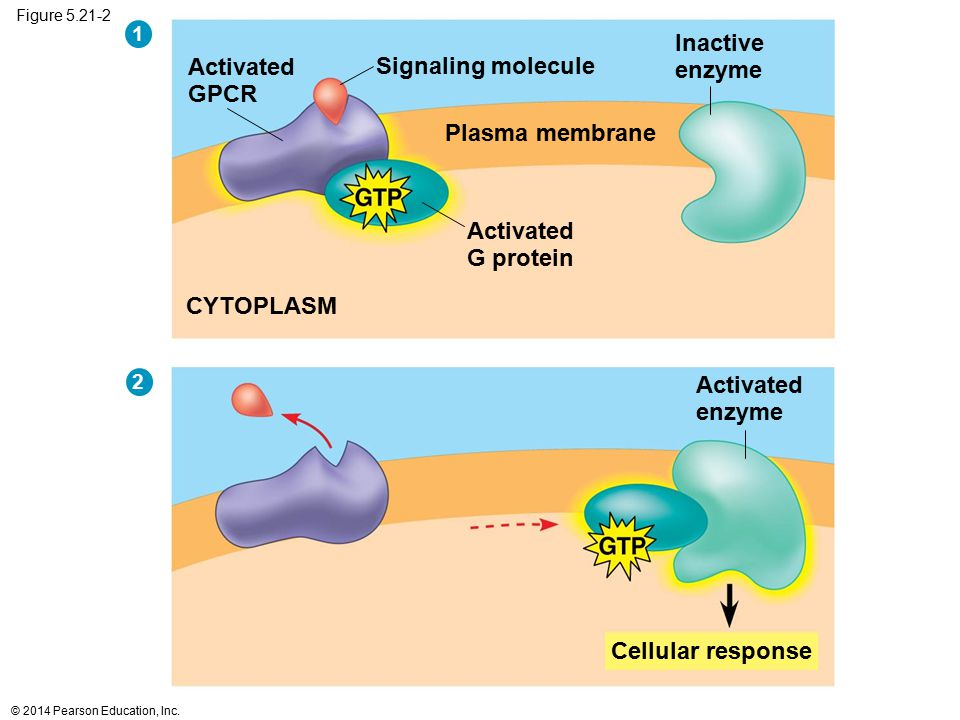 Figure 5.21-2 CYTOPLASM Plasma membrane Activated G protein Cellular response Activated enzyme Signaling molecule Inactive enzyme Activated GPCR 1 2 ©