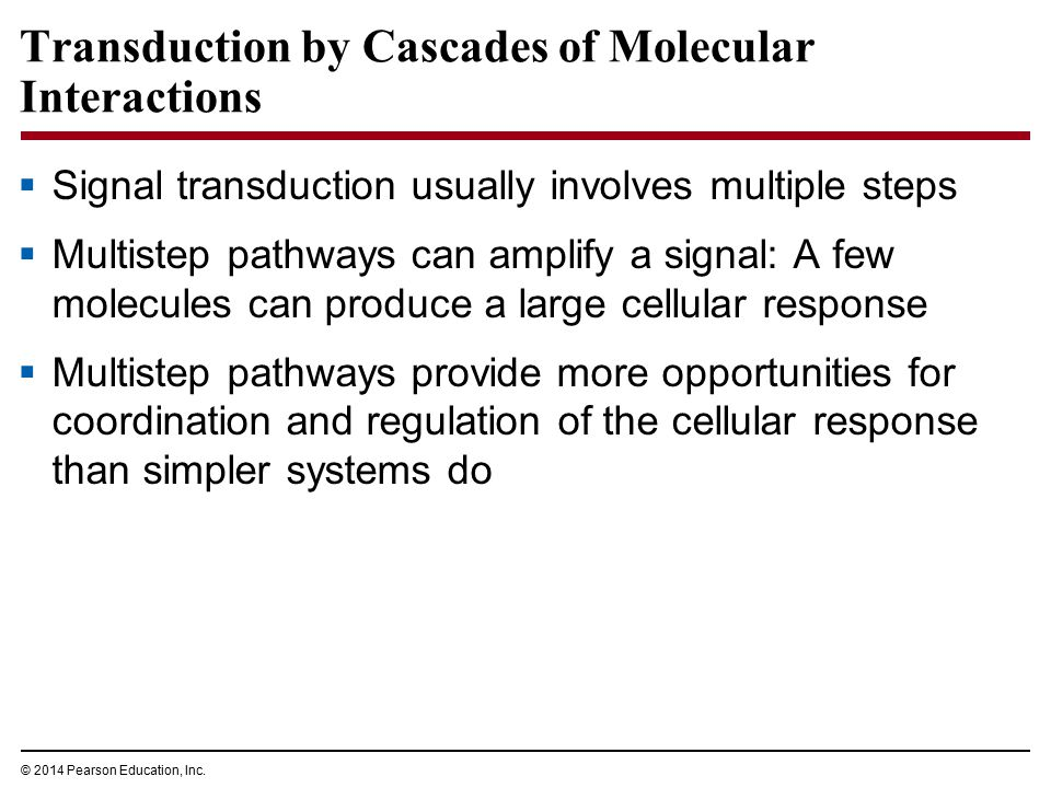 Transduction by Cascades of Molecular Interactions  Signal transduction usually involves multiple steps  Multistep pathways can amplify a signal: A