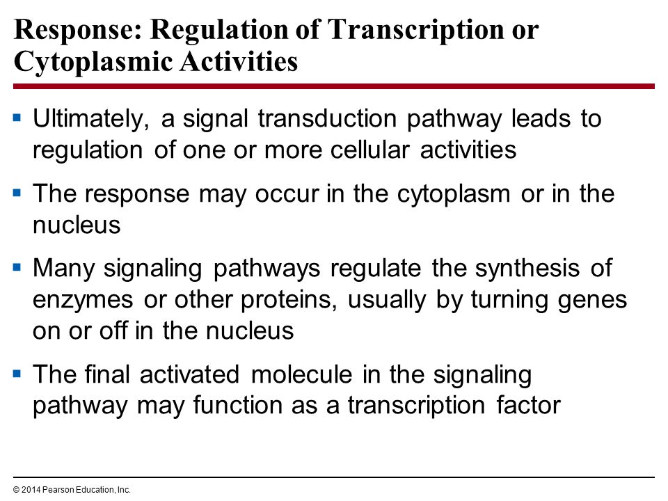 Response: Regulation of Transcription or Cytoplasmic Activities  Ultimately, a signal transduction pathway leads to regulation of one or more cellula