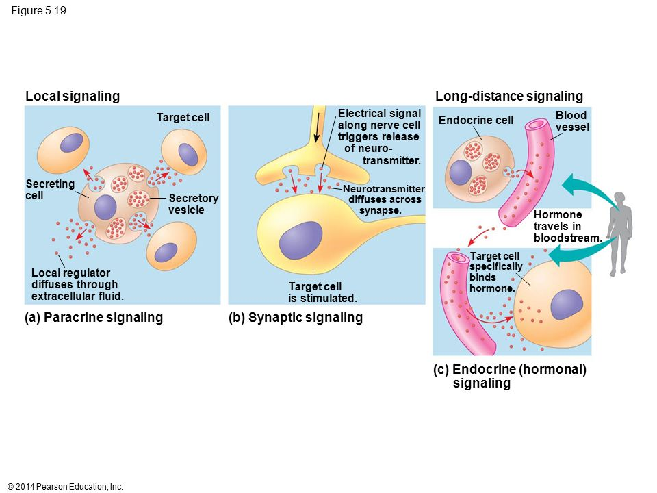 Figure 5.19 Local regulator diffuses through extracellular fluid. Secreting cell Secretory vesicle Target cell Local signaling Long-distance signaling