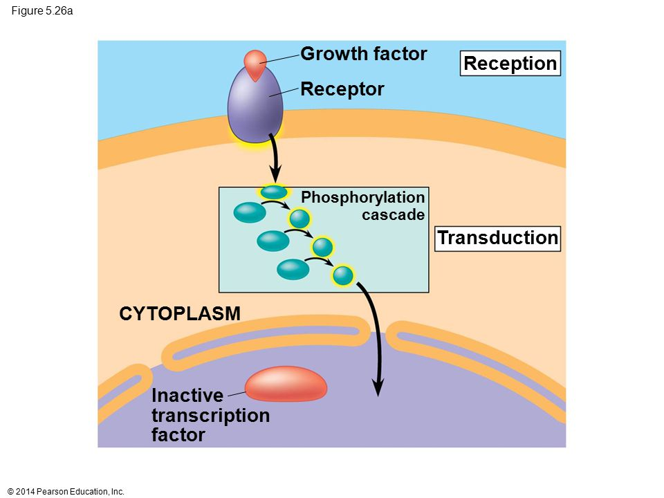 Figure 5.26a Phosphorylation cascade CYTOPLASM Reception Transduction Growth factor Receptor Inactive transcription factor © 2014 Pearson Education, I