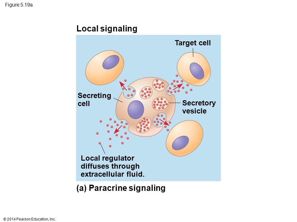Figure 5.19a Local regulator diffuses through extracellular fluid. Secreting cell Secretory vesicle Target cell Local signaling (a) Paracrine signalin