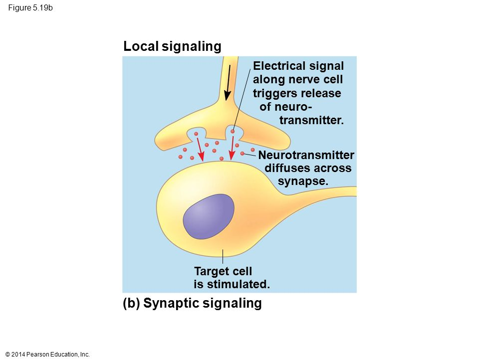 Figure 5.19b Target cell is stimulated. Electrical signal along nerve cell triggers release of neuro- transmitter. Neurotransmitter diffuses across sy