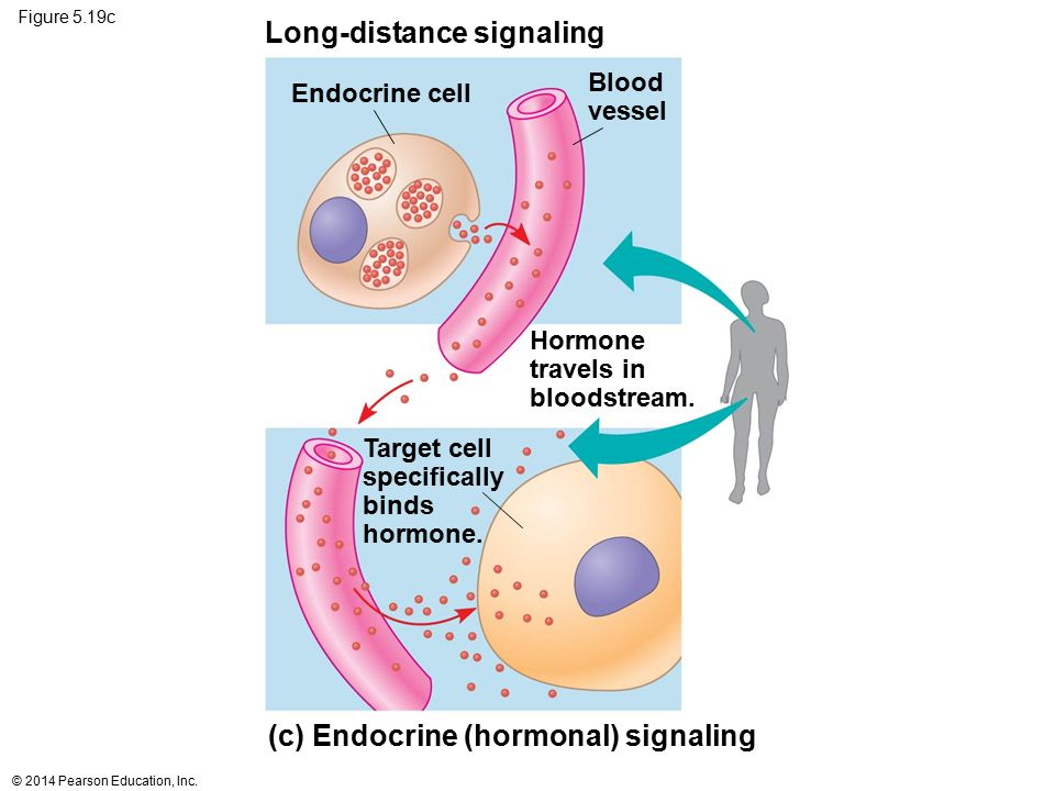 Figure 5.19c Long-distance signaling Endocrine cell Target cell specifically binds hormone. (c) Endocrine (hormonal) signaling Hormone travels in bloo