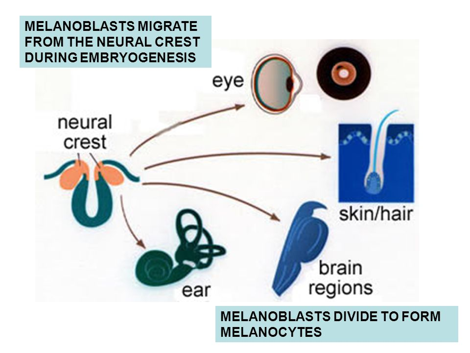 MELANOBLASTS MIGRATE FROM THE NEURAL CREST DURING EMBRYOGENESIS MELANOBLASTS DIVIDE TO FORM MELANOCYTES