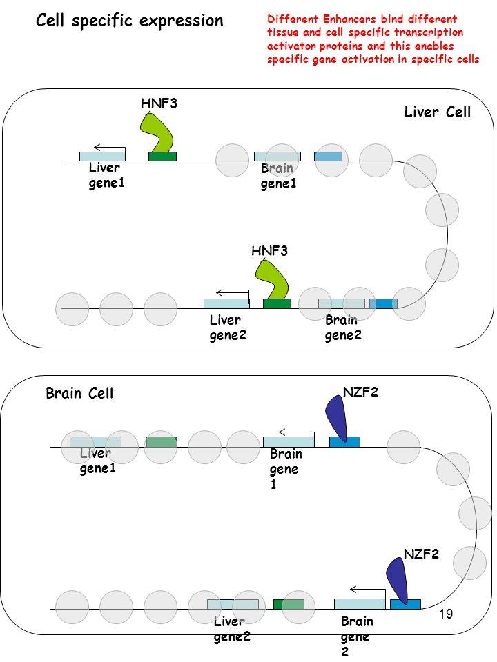 19 Cell specific expression HNF3 Liver gene1 Liver gene2 Brain gene 1 Brain gene 2 NZF2 Different Enhancers bind different tissue and cell specific tr