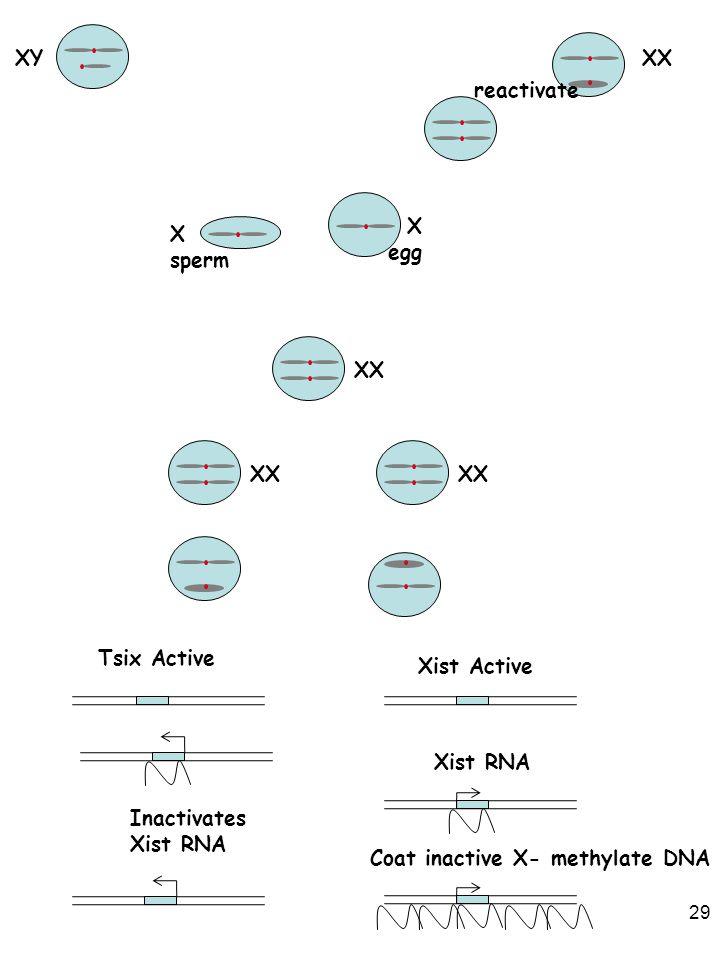 29 XXXY reactivate X sperm X egg XX Xist Active Xist RNA Tsix Active Inactivates Xist RNA Coat inactive X- methylate DNA