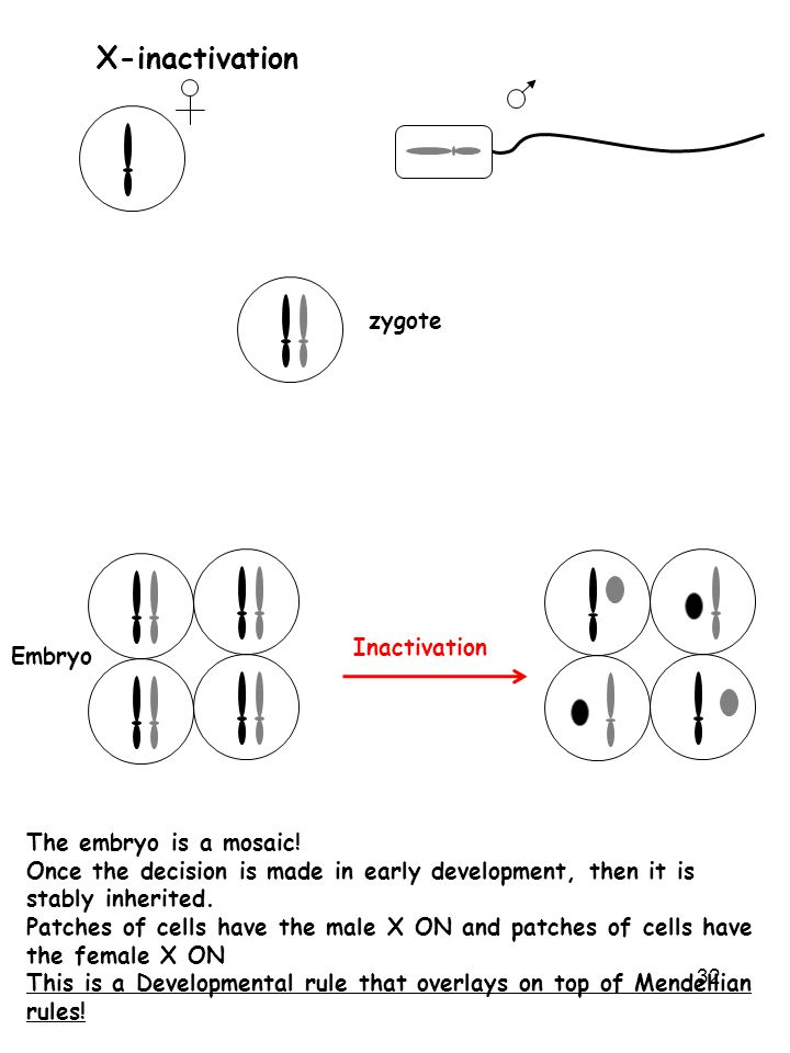 32 X-inactivation zygote Embryo The embryo is a mosaic! Once the decision is made in early development, then it is stably inherited. Patches of cells