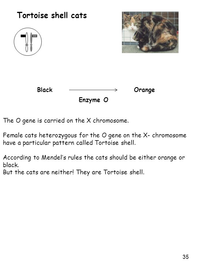 35 Tortoise shell cats The O gene is carried on the X chromosome. Female cats heterozygous for the O gene on the X- chromosome have a particular patte