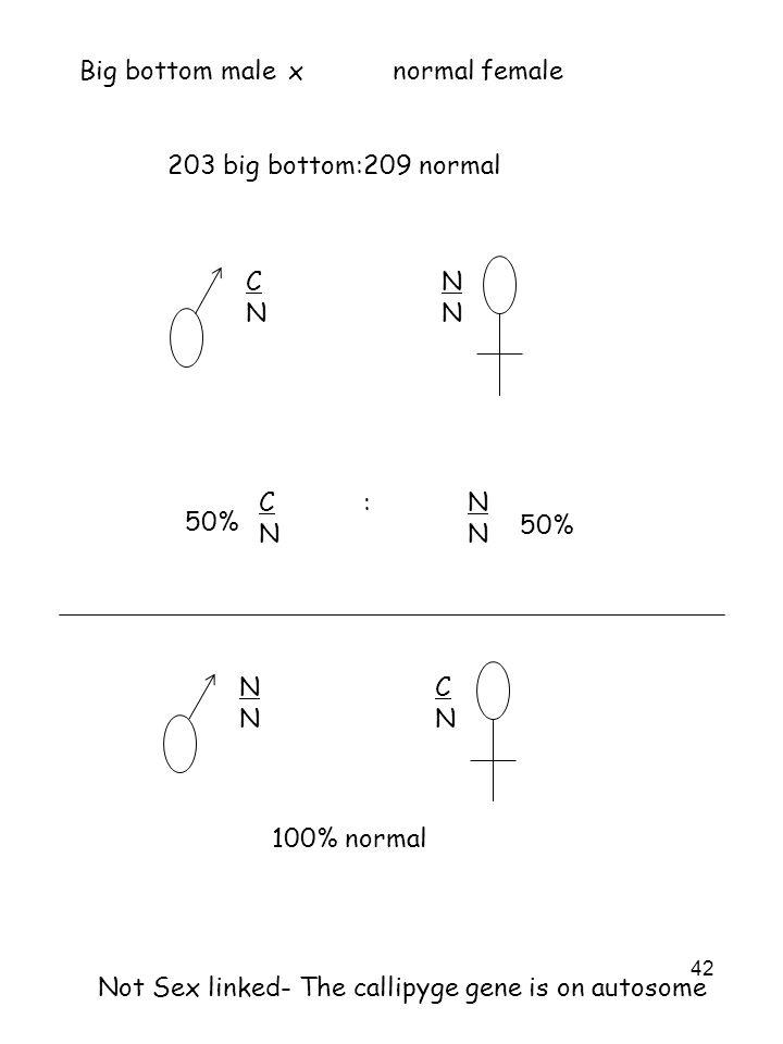 42 Big bottom malexnormal female 203 big bottom:209 normal CNCN NNNN C:NNNC:NNNN 50% NNNN CNCN 100% normal Not Sex linked- The callipyge gene is on au