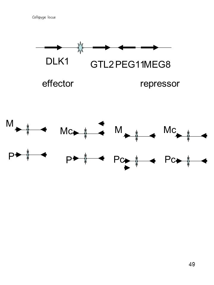 49 DLK1 GTL2PEG11MEG8 effectorrepressor M P Mc P M Pc Mc Pc Callipyge locus