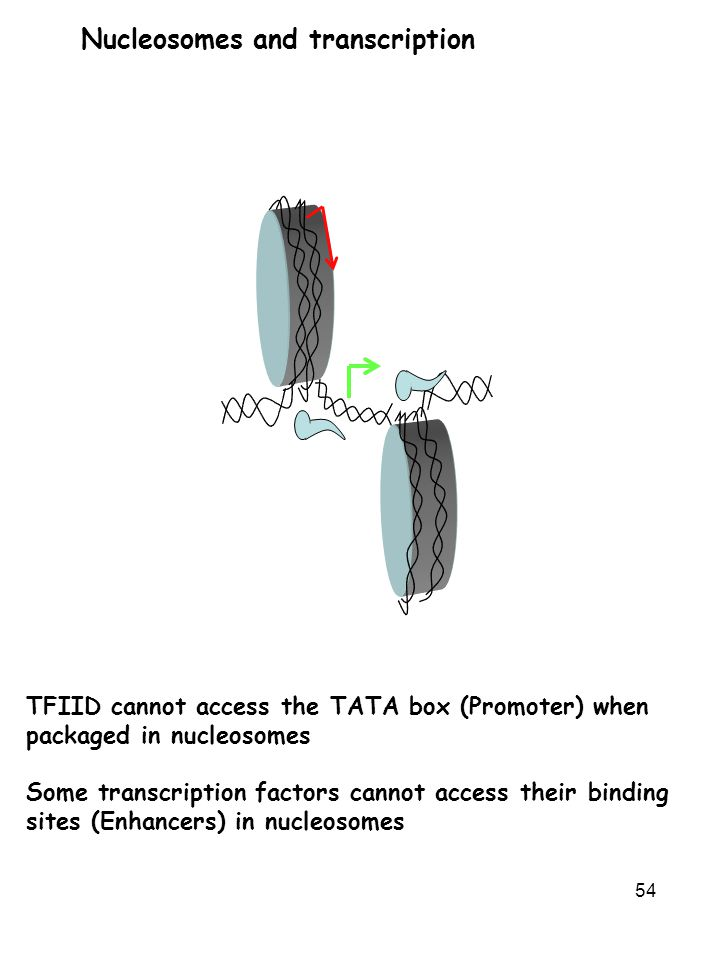 54 TFIID cannot access the TATA box (Promoter) when packaged in nucleosomes Some transcription factors cannot access their binding sites (Enhancers) i