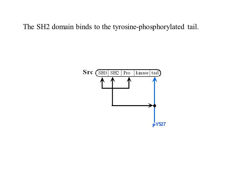 The SH2 domain binds to the tyrosine-phosphorylated tail.