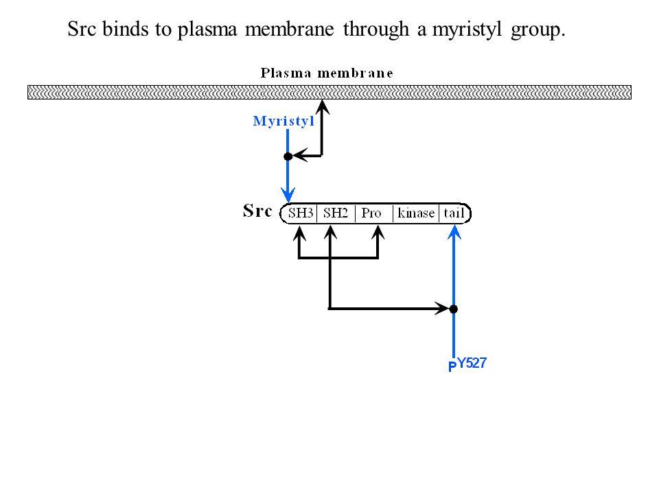 Src binds to plasma membrane through a myristyl group.