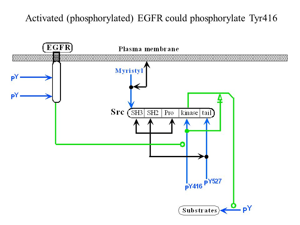 Activated (phosphorylated) EGFR could phosphorylate Tyr416