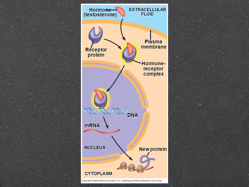 Hormone(testosterone) EXTRACELLULARFLUID Plasmamembrane Receptorprotein Hormone-receptorcomplex DNA mRNA NUCLEUS CYTOPLASM