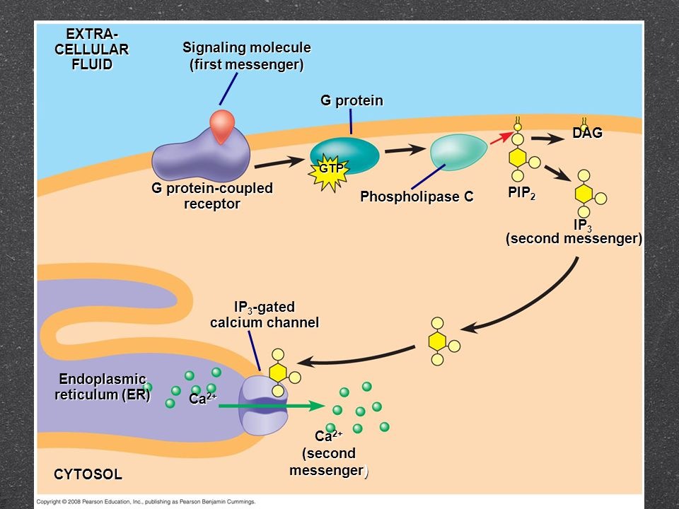 EXTRA-CELLULARFLUID Signaling molecule (first messenger) G protein GTP G protein-coupled receptor Phospholipase C PIP 2 IP 3 DAG (second messenger) IP 3 -gated calcium channel Endoplasmic reticulum (ER) Ca 2+ CYTOSOL