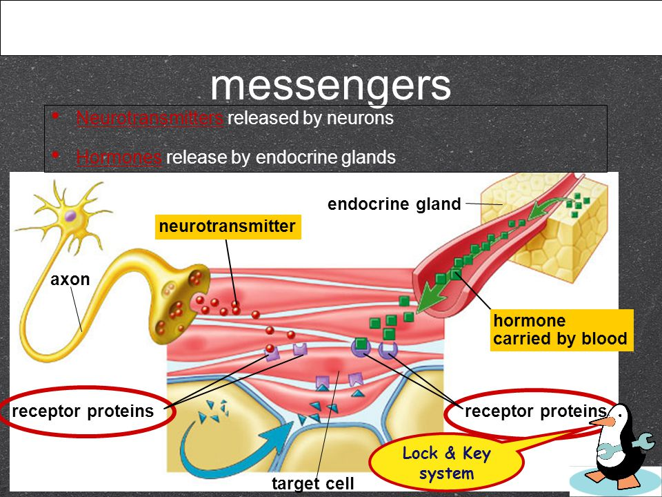 Regulation by chemical messengers axon endocrine gland receptor proteins target cell Neurotransmitters released by neurons Hormones release by endocrine glands receptor proteins hormone carried by blood neurotransmitter Lock & Key system