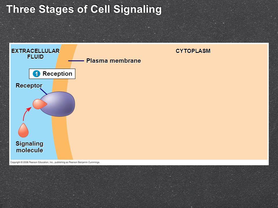 Three Stages of Cell Signaling Reception 1 EXTRACELLULARFLUID Receptor Signalingmolecule Plasma membrane CYTOPLASM 1
