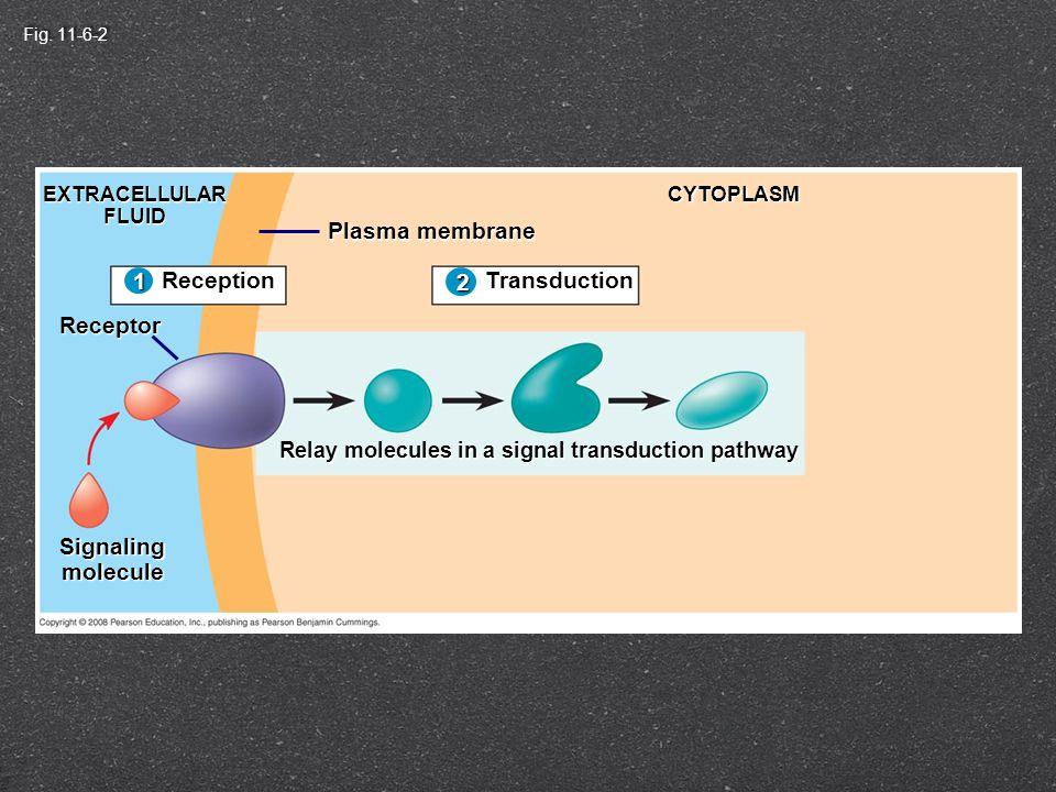 Ion Channel Receptors Signalingmolecule(ligand) Gateclosed Ions Ligand-gated ion channel receptor Plasmamembrane Gate open Cellularresponse Gate closed 3 2 1 Seen with neurotransmitters neurotransmitters