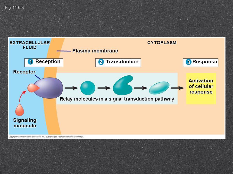 Fig. 11-6-2 Reception 1 EXTRACELLULARFLUID Receptor Signalingmolecule Plasma membrane CYTOPLASM 1 Relay molecules in a signal transduction pathway Tra