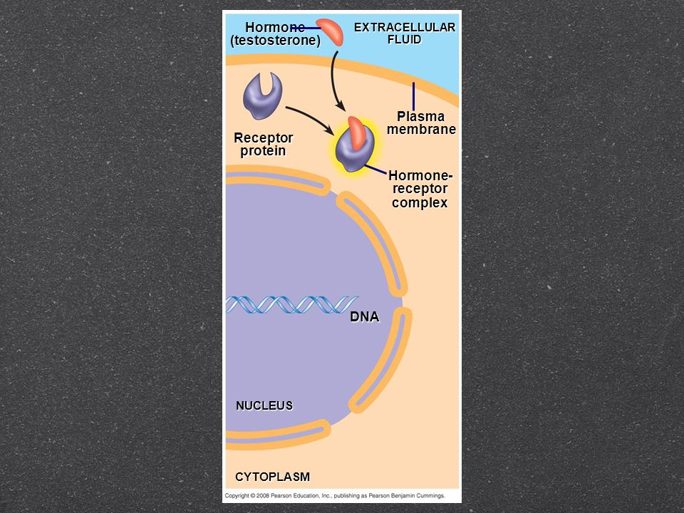 Receptorprotein Hormone(testosterone) EXTRACELLULARFLUID Plasmamembrane Hormone-receptorcomplex DNA NUCLEUS CYTOPLASM