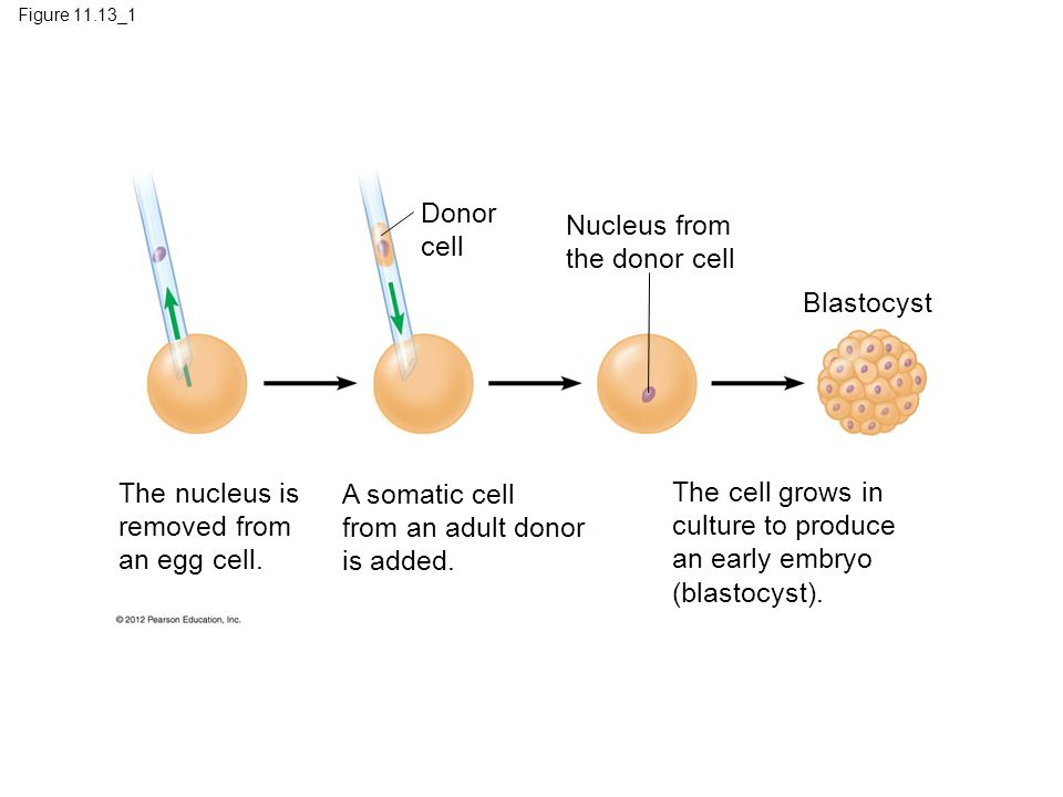 Figure 11.13_1 The nucleus is removed from an egg cell.