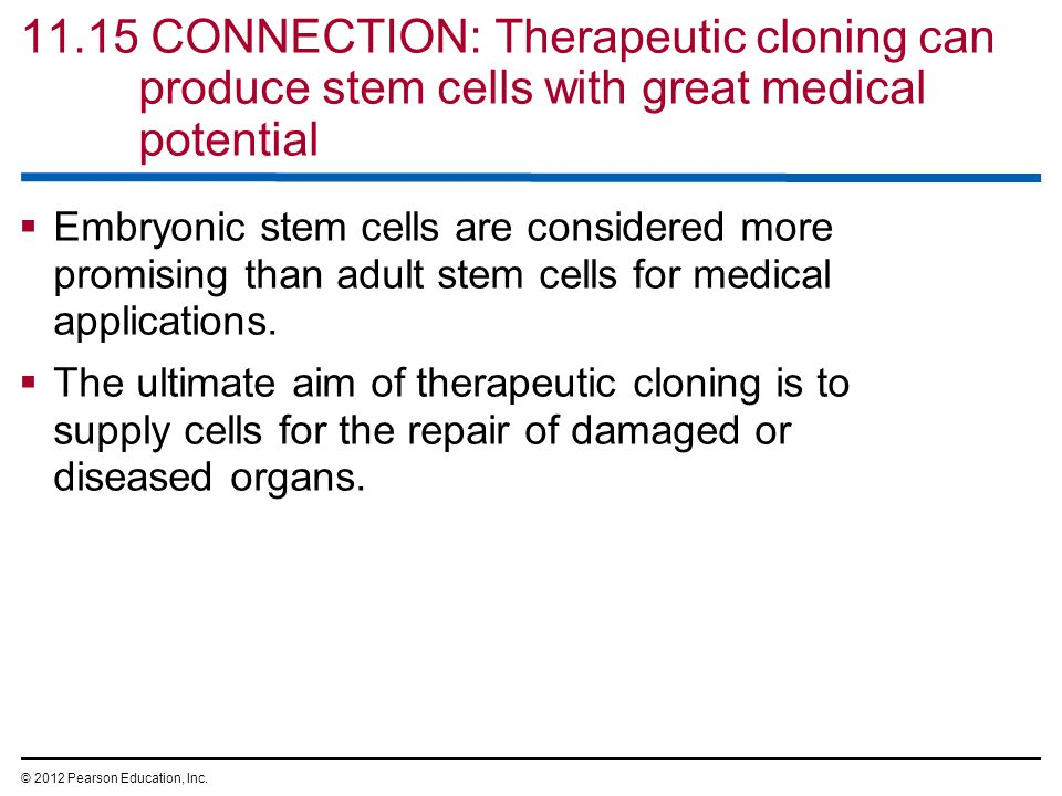 11.15 CONNECTION: Therapeutic cloning can produce stem cells with great medical potential  Embryonic stem cells are considered more promising than adult stem cells for medical applications.