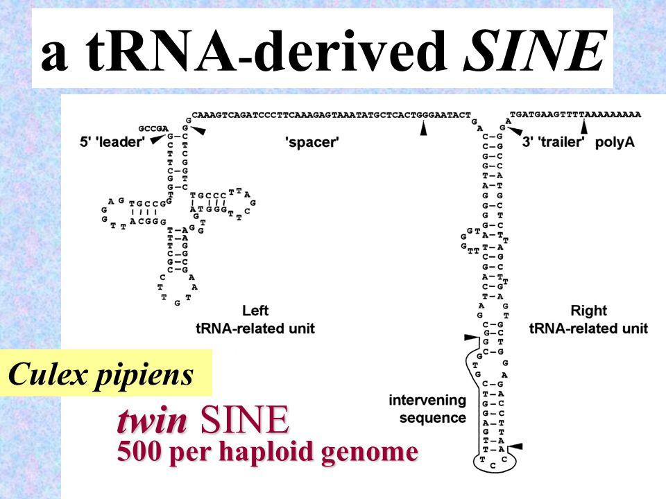 26 a tRNA - derived SINE twin SINE 500 per haploid genome Culex pipiens