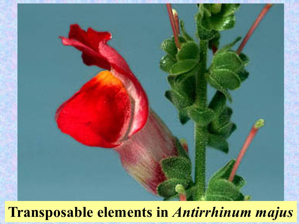 39 Transposable elements in Antirrhinum majus
