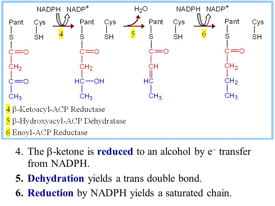 4.The  -ketone is reduced to an alcohol by e  transfer from NADPH. 5.Dehydration yields a trans double bond. 6.Reduction by NADPH yields a saturated