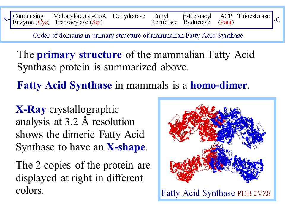 The primary structure of the mammalian Fatty Acid Synthase protein is summarized above. Fatty Acid Synthase in mammals is a homo-dimer. X-Ray crystall