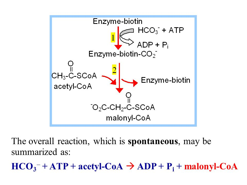 Fatty Acid Synthase prosthetic groups:  the thiol of the side- chain of a cysteine residue of Condensing Enzyme domain.