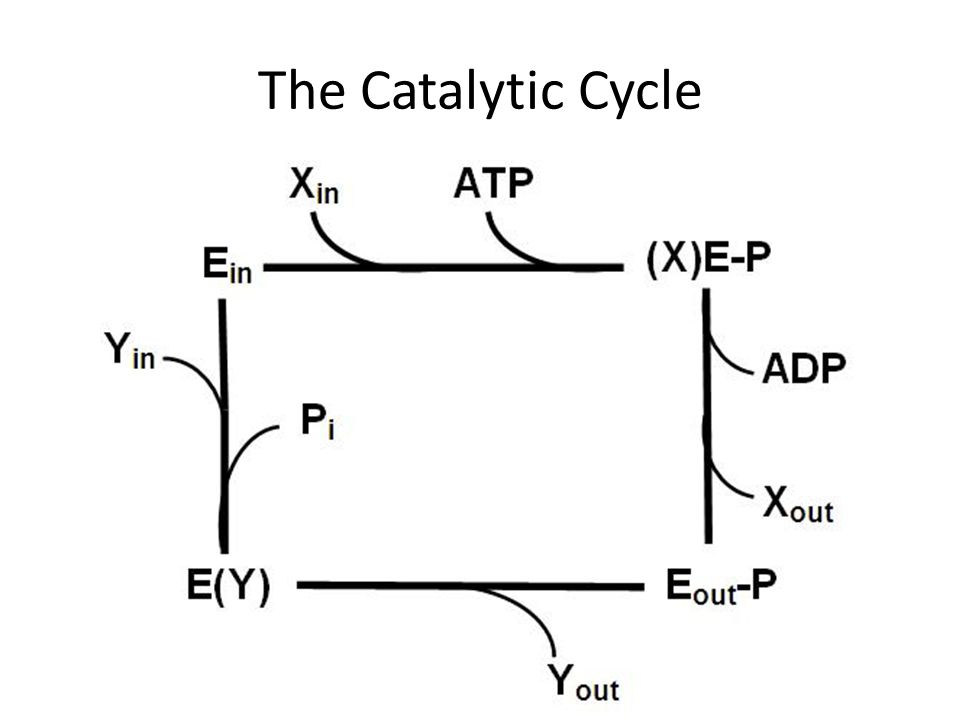 The Catalytic Cycle