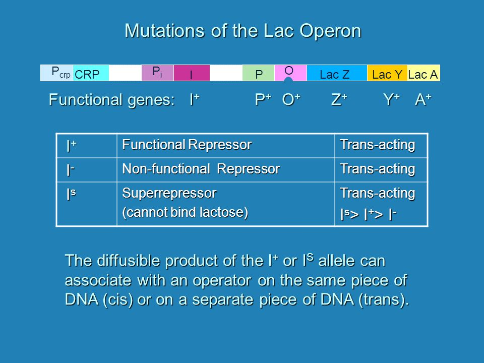Lac ZLac YLac AP O PiPi I P crp CRP Mutations of the Lac Operon I+ I+ I+ I+ Functional Repressor Trans-acting I- I- I- I- Non-functional Repressor Trans-acting Is Is Is IsSuperrepressor (cannot bind lactose) Trans-acting I s > I + > I - Functional genes: I + P + O + Z + Y + A + The diffusible product of the I + or I S allele can associate with an operator on the same piece of DNA (cis) or on a separate piece of DNA (trans).